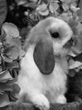 Young Lop Eared Domestic Rabbit, USA Photographic Print by Lynn M. Stone