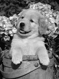 Golden Retriever Puppy in Bucket (Canis Familiaris) Illinois, USA Premium Photographic Print by Lynn M. Stone