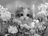 8-Week, Silver Tortoiseshell-And-White Kitten, Among Gillyflowers, Carnations and Meadowseed 写真プリント : ジェーン・バートン