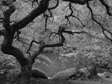 Japanese Maple, Portland Japanese Garden, Oregon, USA Fotografiskt tryck av William Sutton