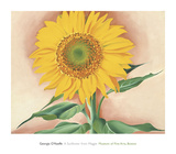 A Sunflower from Maggie, 1937 Posters by Georgia O'Keeffe