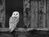 Barn Owl, in Old Farm Building Window, Scotland, UK Cairngorms National Park Stampa fotografica di Pete Cairns