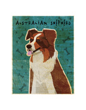 Australian Shepherd (Red) Posters by John W. Golden