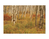 Autumn Aspens Posters by Michael Hudson