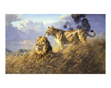 African Evening Lions Kunstdrucke von Donald Grant