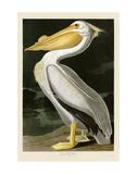 Pélican blanc américain Posters par John James Audubon
