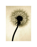 Backlit Dandelion Posters by Jenny Kraft