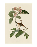 Bachmans Finch Prints by John James Audubon