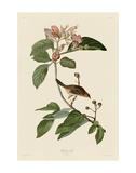 Bachmans Finch Prints by John James Audubon