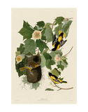 Baltimore Oriole Plakat af John James Audubon