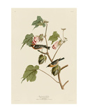 Bay-Breasted Warbler Posters af John James Audubon