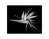 Bird of Paradise Prints by Harold Silverman