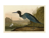 Blue Crane or Heron Plakat autor John James Audubon