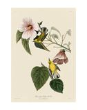 Blue-Winged Yellow Warbler Plakater af John James Audubon