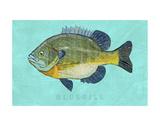 Bluegill Affiches par John Golden