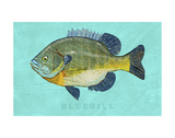 Bluegill Prints by John Golden