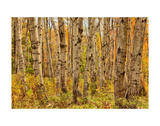 Birch Trees, Acadia Prints by Michael Hudson