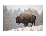 Bison in Snow Posters by Jason Savage