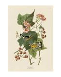 Black & Yellow Warblers Plakater af John James Audubon