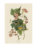 Black & Yellow Warblers Prints by John James Audubon