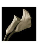 Calla Lilies Prints by Michael Harrison
