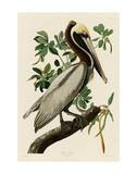 Brown Pelican II Posters af John James Audubon
