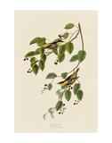 Carbonated Warbler Kunst af John James Audubon