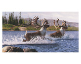 Caribou Crossing Prints by Rod Lawrence