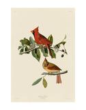 Serin cardinal Posters par John James Audubon