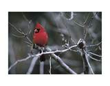 Cardinal Prints by Art Wolfe
