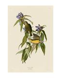 Connecticut Warbler Plakater af John James Audubon