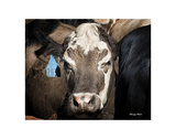 Cow 1 Prints by Barry Hart