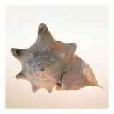 Conch Art by Tom Artin
