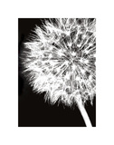 Dandelion Crop Posters by Jenny Kraft