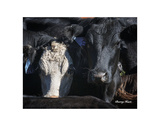 Cows 2 Prints by Barry Hart