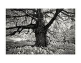 Portrait of a Tree, Study 10 Posters by Marcin Stawiarz