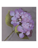 Purple Hydrangea Prints by Erin Clark