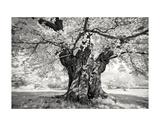 Portrait of a Tree, Study 18 Print by Marcin Stawiarz