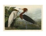 Purple Heron Prints by John James Audubon