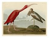Scarlet Ibis Affiches par John James Audubon