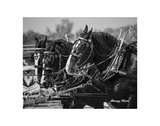 Shire Horse Team Print by Barry Hart
