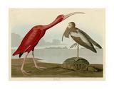 Scarlet Ibis Prints by John James Audubon