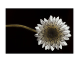 Solitary Blossom Prints by David Lorenz Winston