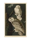 Snowy Owl Art by John James Audubon