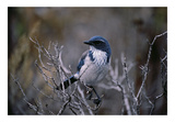Scrub Jay Prints by Art Wolfe