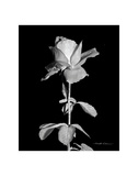 Rose Posters by Harold Silverman