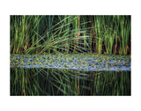 Splitting Reeds Prints by Bob Larson