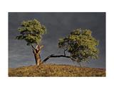 Split Oak Plakaty autor David Lorenz Winston