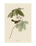 Swamp Sparrow Prints by John James Audubon