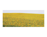 Sunflower Panorama Posters by Stephen Gassman